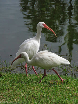 Photograph - Exploring White Ibis by Kathi Isserman