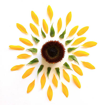 Sunflowers Royalty-Free and Rights-Managed Images - Explosion by Jeff Bord