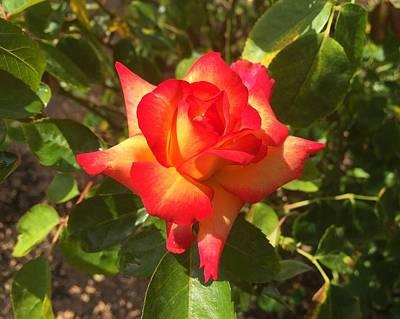 Photograph - Exposition Park Rose Garden Study 2 by Robert Meyers-Lussier