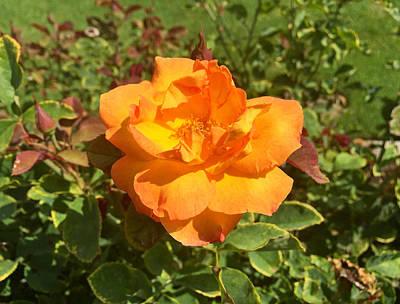 Photograph - Exposition Park Rose Garden Study 3 by Robert Meyers-Lussier