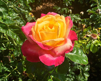 Photograph - Exposition Park Rose Garden Study 4 by Robert Meyers-Lussier