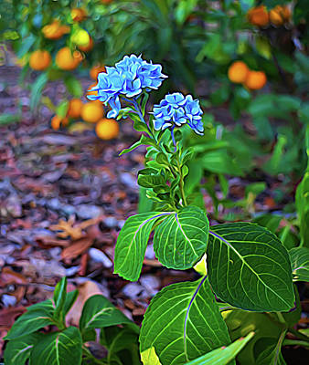 Photograph - Expressionalism Hydrangea And Oranges by Aimee L Maher Photography and Art Visit ALMGallerydotcom