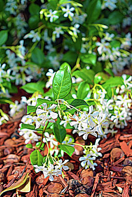 Photograph - Expressionalism Jasmine In Bloom by Aimee L Maher ALM GALLERY