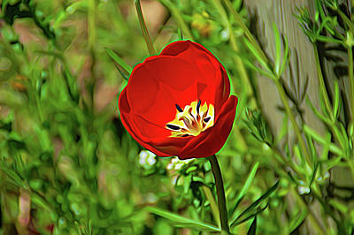 Photograph - Expressionalism Red Tulip by Aimee L Maher ALM GALLERY