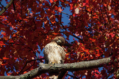 Photograph - Expressive Hawk by Karol Livote