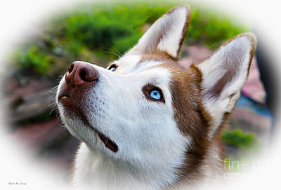 Digital Art - Expressive Siberian  Husky Photo C62017 by Mas Art Studio