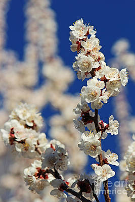 Photograph - Exquisite Apricot Garnish Blossoms  by Dale Jackson