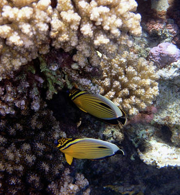 Photograph - Exquisite Butterflyfish 2016 by Johanna Hurmerinta
