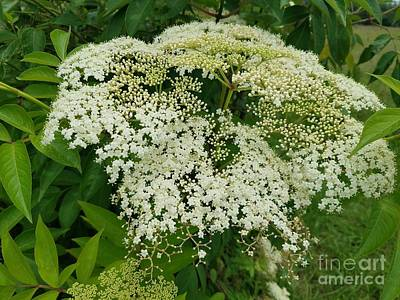 Photograph - Exquisite Elderberry by Maria Urso