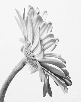 Exquisite Gerbera Daisy  Art Print by Anita Oakley