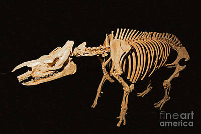 Photograph - Extinct Rhino by Millard Sharp