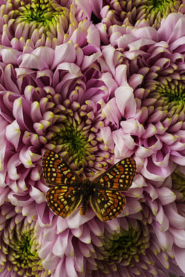 Extoic Butterfly On Mums Art Print by Garry Gay