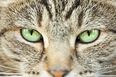 Photograph - Extreme Close Up Tabby Cat by Sharon Dominick