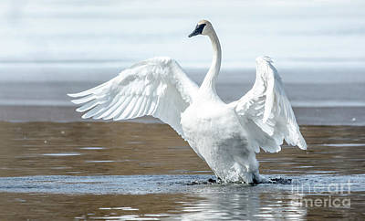 Photograph - Exultant Trumpeter Swan by Cheryl Baxter