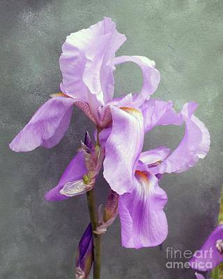 Marvelous Marble - Eye Catching Display - bearded Iris by Cindy Treger