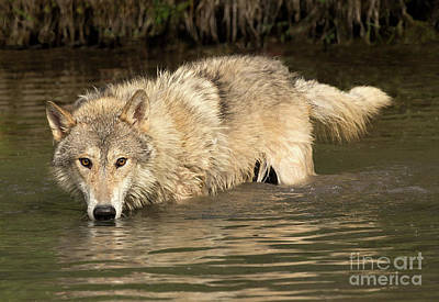 Photograph - Gray Wolf Drinks by Art Cole