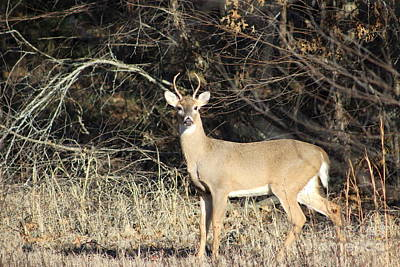 Missouri Whitetail Photograph - Eye Contact by Tammy Miller