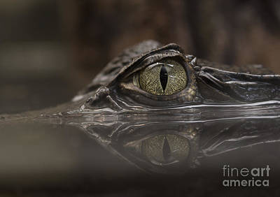 Photograph - Eye Of The Cayman by Pietro Ebner