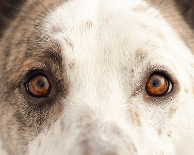 Cattle Dog Photograph - Eye Of The Dog by Debi Bishop