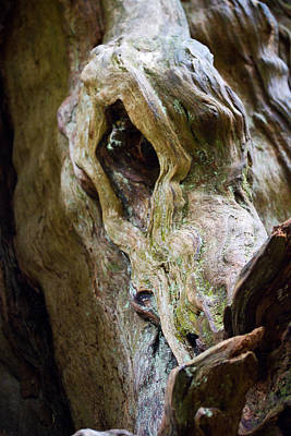 Photograph - Eye Of The Dragon - Ancient Cedar - Pacific Northwest by Marie Jamieson