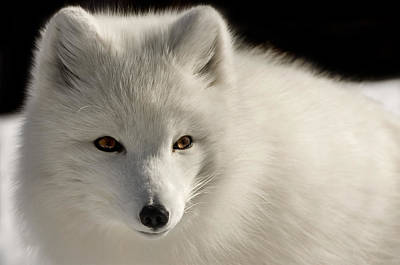 Photograph - Eye Of The Fox by Michel Legare
