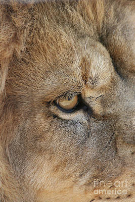 Lion Photograph - Eye Of The Lion #2 by Judy Whitton