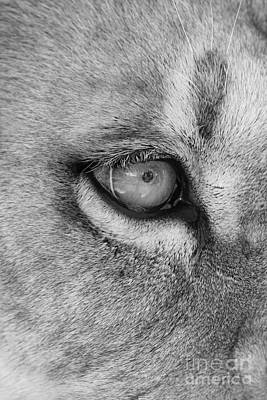 Photograph - Eye Of The Lion  Black And White by Judy Whitton