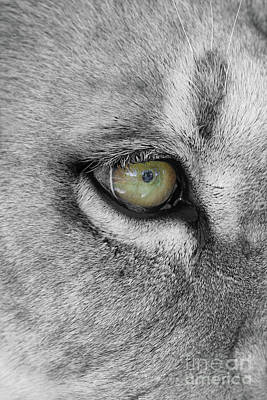 Photograph - Eye Of The Lion  Black And White  T O C by Judy Whitton