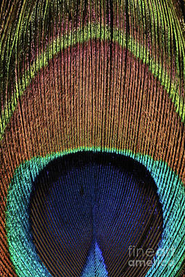 Photograph - Eye Of The Peacock #10 by Judy Whitton