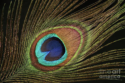 Photograph - Eye Of The Peacock #11 by Judy Whitton