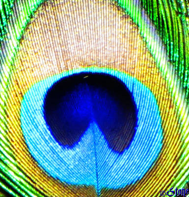 Photograph - Eye Of The Peacock by September  Stone