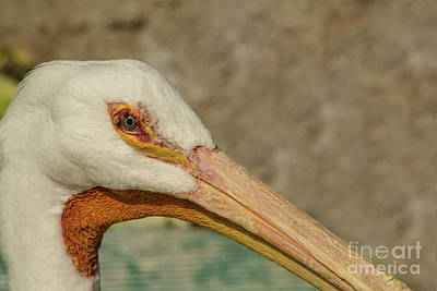 Photograph - Eye Of The Pelican by Steven Parker