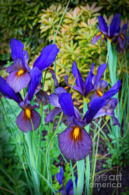 Photograph - Eye Of The Tiger Dutch Iris by Sue Melvin