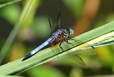 Tiger Dragonflies Photograph - Eye Of The Tiger by Kala King