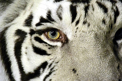 Photograph - Eye Of The Tiger by Nadalyn Larsen