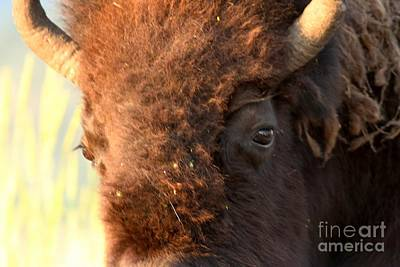 Eye Of The Yellowstone Bison Art Print by Adam Jewell