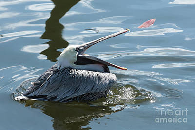 Photograph - Eye On The Prize Brown Pelican by Carol Groenen