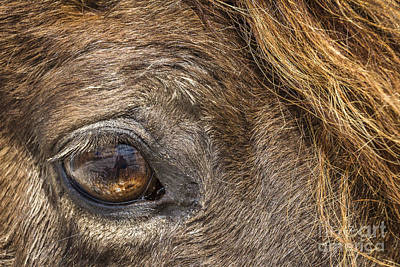 Forelock Photograph - Eye See You by Joann Long