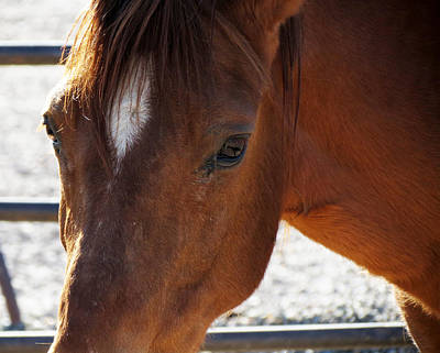 Paso Fino Stallion Photograph - Eye See You by Laurel Powell