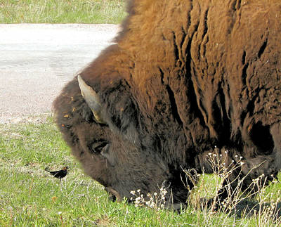 Eye To Eye Bison And Bird Art Print by Marion Muhm