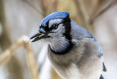 Photograph - Eye To Eye Bluejay by Cheryl Baxter