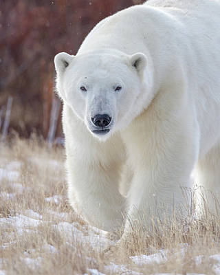 Photograph - Eye To Eye With A Polar Bear by Jack Bell