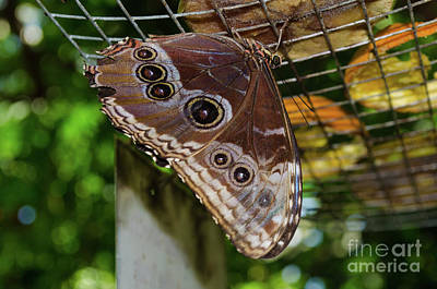 Photograph - Eyed Butterfly by Donna Brown