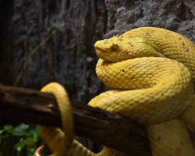 Photograph - Eyelash Viper 2 by Douglas Barnett