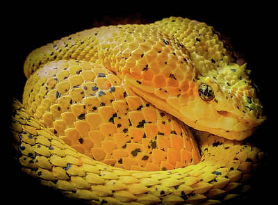 Eyelash Viper Art Print by Karen Wiles