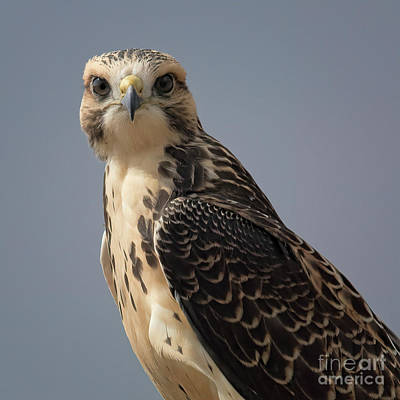 Photograph - Eyes Like A Hawk by Jim Garrison