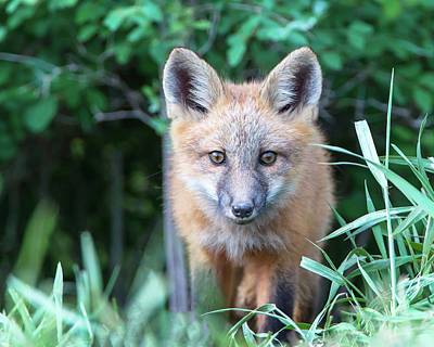 Photograph - Eyes Of A Fox by Jack Bell