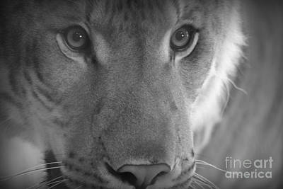 Eyes Of A Liger  Art Print by Elizabeth Ann