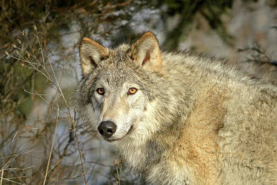 Photograph - Eyes Of A Wolf by Jack Bell