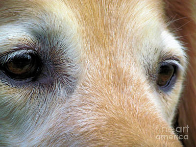 Golden Retriever Photograph - Eyes Of An Angel by Elizabeth Dow